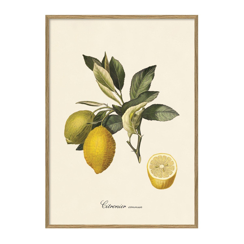 5e4c52460ec The Dybdahl - Plakat 30x40 cm. - Citronier, botanisk print - Papir